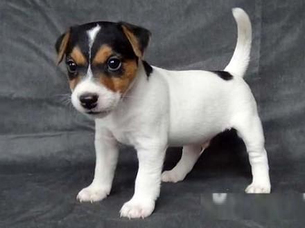 Parson Russell Terrier piękne szczenięta z rodowodem ZKwP