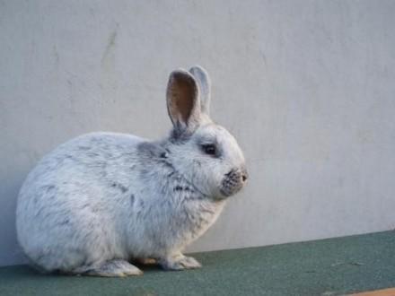 królik króliki wjs