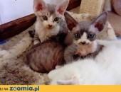 Niebieskie koteczki Devon Rex,  śląskie Jastrzębie-Zdrój