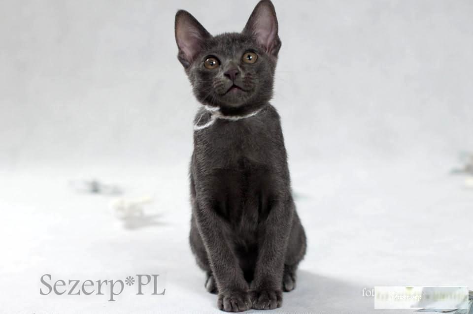 Kocięta Korat Rzadki Klejnot Z Tajlandii Pozostałe Rasy Koty