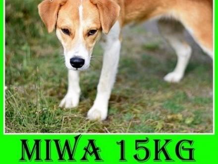 15kg średnia młoda wesoła łagodna tulaśna suczka MIWAAdopcja   wielkopolskie Rzeszów