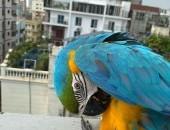 afrykańska szara papuga do zaoferowania