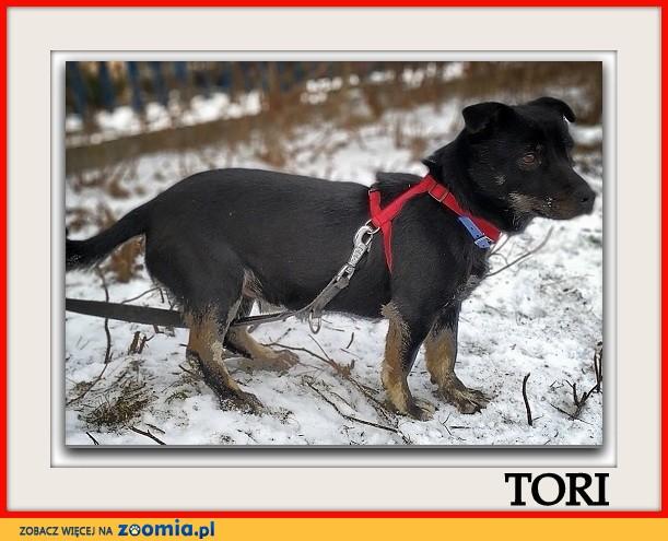 Mały 7 kg,wesoły,aktywny,b_sympatyczny,zaszczepiony psiak TORI_Adopcja_