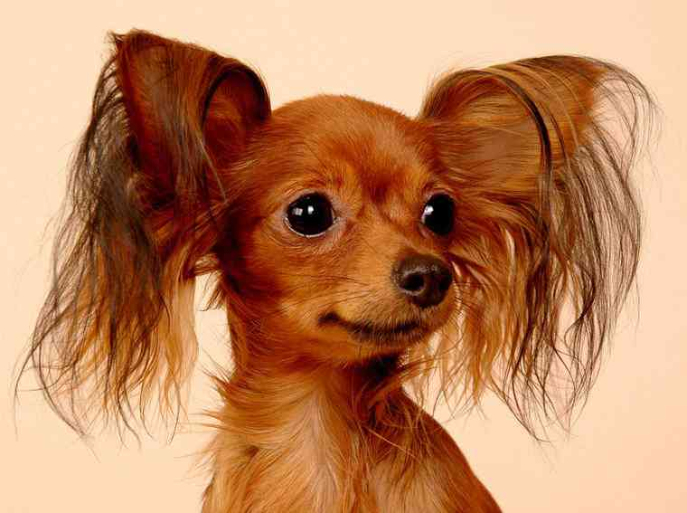 Small Dogs With Half Floppy Ears